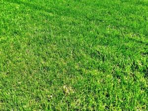 Festuca arundinacea un prato che cresce poco a bassa - Quando seminare erba giardino ...