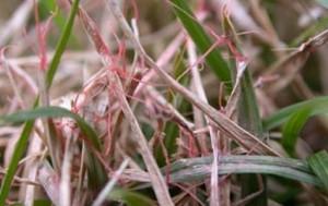 laetisaria-fuciformis-filo-rosso-prato