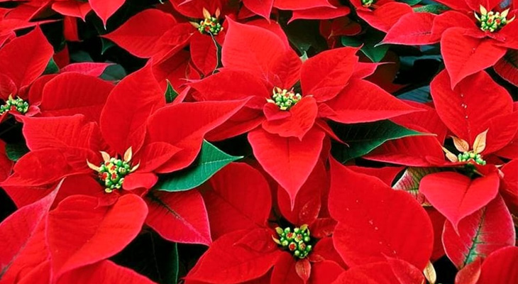 Airc Stella Di Natale.La Cura Della Stella Di Natale Rinvaso Concimazione Temperatura E Irrigazione Bestprato