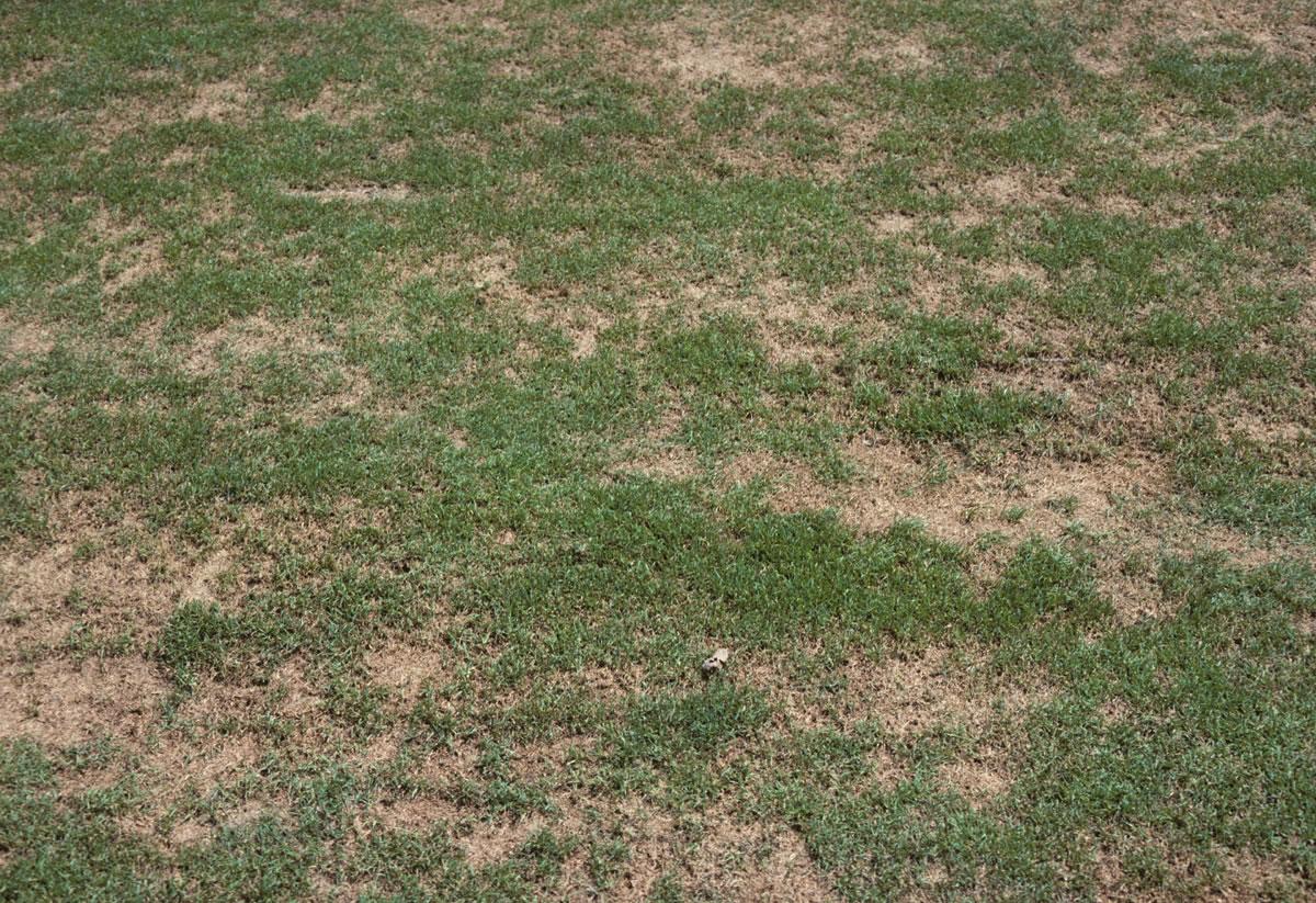 Manutenzione Prato Di Gramignone macchie marroni e gialli nel tappeto erboso. le malattie del