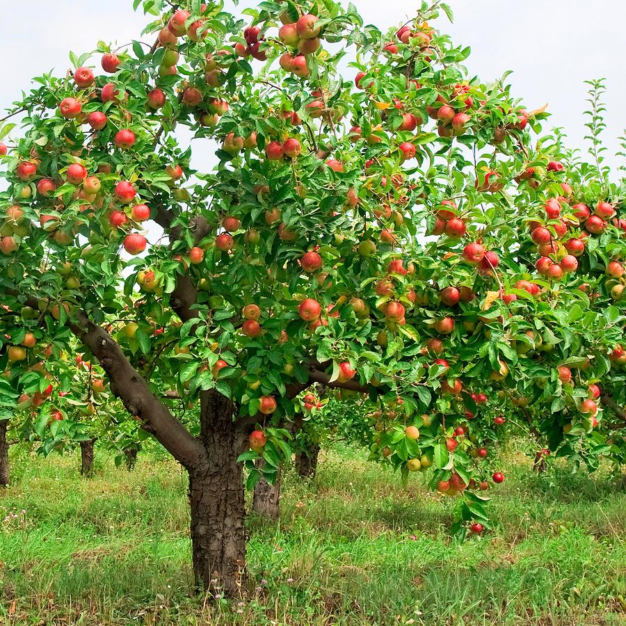 Foto Di Alberi Da Frutto come concimare gli alberi da frutto | bestprato