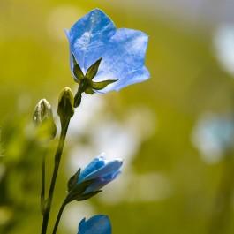 Semi di Campanula Carpatica Bleu (Campanula carpatica)