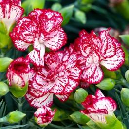Semi di Garofano Chabaud Doppio Bianco Screziato (Dianthus caryophyllus)