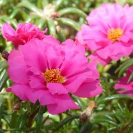 Semi di Portulaca (Portulaca grandiflora)