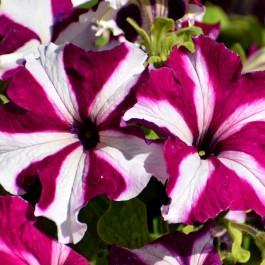 Semi di Petunia Ibrida Nana in Mix (Petunia hybrida)