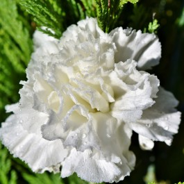 Semi di Garofano Chabaud Doppio Bianco (Dianthus caryophyllus)