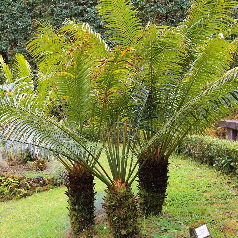 Palme Da Vaso Per Esterno concime cycas e piante tropicali agribios - 1 kg