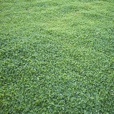 Dichondra repens micrantha sementi per prato for Prato manutenzione