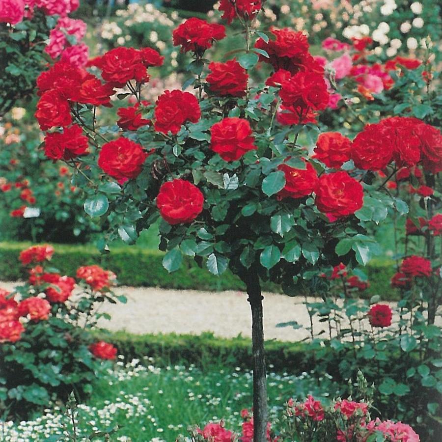 Rose Rampicanti Senza Spine kit potatura rose plus | bestprato