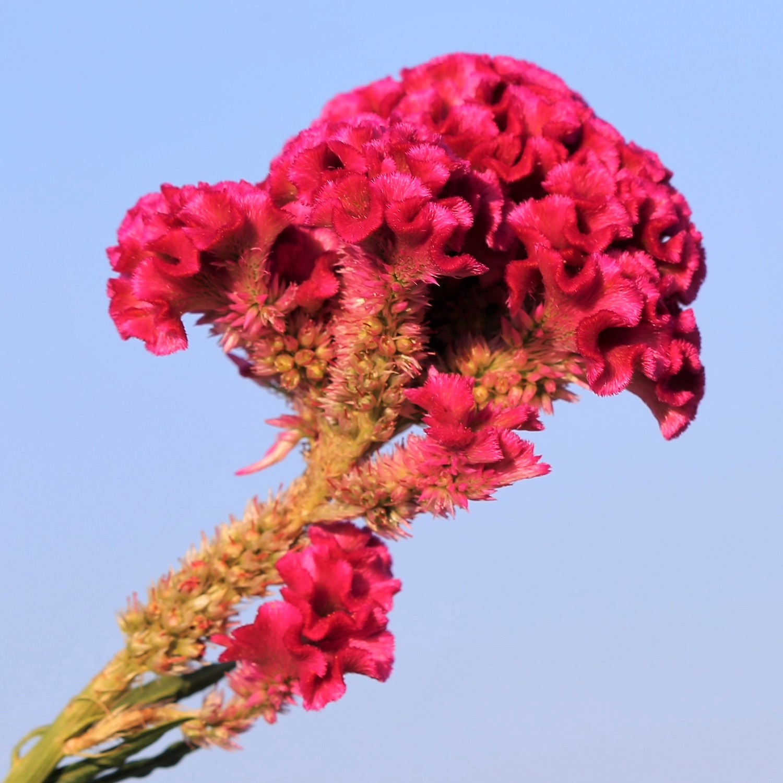 Coltivare Fiori Da Recidere celosia cresta di gallo nana |  bestprato by hortus