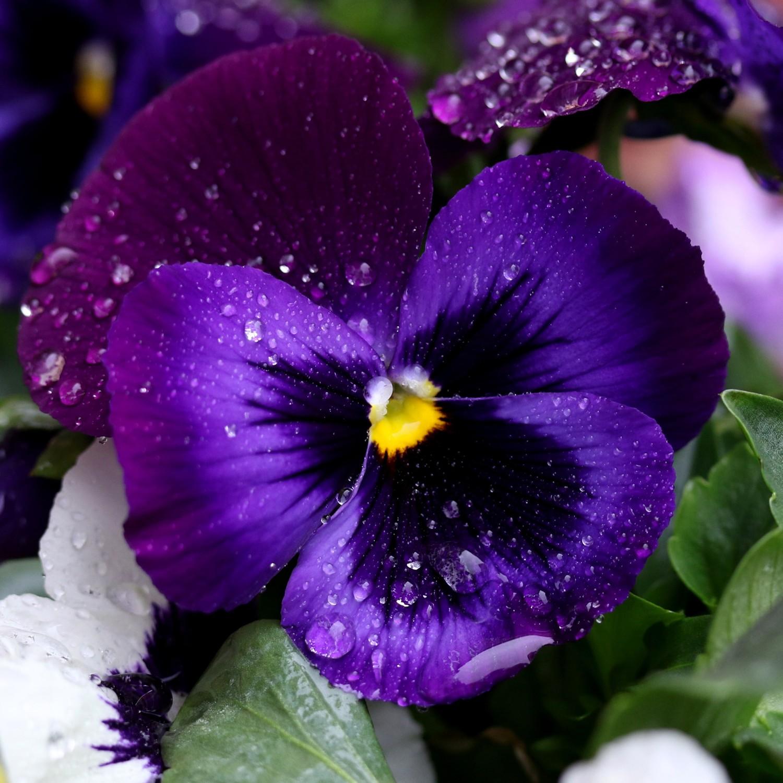 0,20 piante fiori Semi sementi di Viola del Pensiero gigante giallo-rosso GR