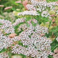 L'Achillea Millefoglie (Achillea filipendulina) è un fiore con infiorescenze piatte che possono essere recise ed essiccate Acquista i semi su Bestprato.com