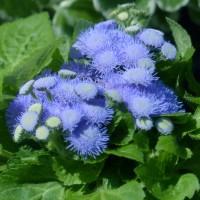 Semi di Agerato Nano Blu (Ageratum houstonianum)
