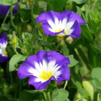 Semi di Bella di Giorno in Mix (Convolvulus tricolor)
