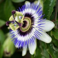 Passiflora Cerulea | Bestprato by Hortus