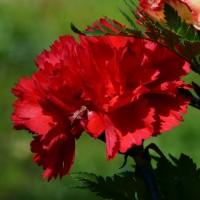 Semi di Garofano Chabaud Doppio Rosso (Dianthus caryophyllus)