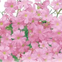 Gypsophila Rosa | Bestprato by Hortus