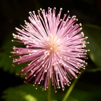 Semi di Mimosa Pudica Sensitiva (Mimosa pudica)