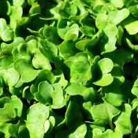 Rucola Coltivata | ‎ Bestprato by Hortus