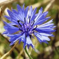Semi di Centaurea o Fiordaliso Doppio (Centaurea cyanus)