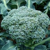 Cavolo Broccolo Calabrese medio precoce |  Bestprato by Hortus