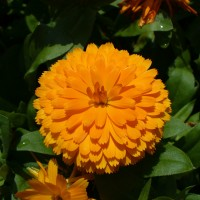 Semi di Calendula Gigante (Calendula officinalis)