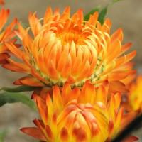 Semi di Elicriso o Semprevivo Doppio in Mix (Helichrysum  bracteatum)