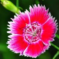 Semi di Garofano Cinese Doppio in Mix (Dianthus chinensis)