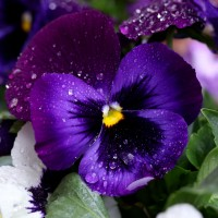 Semi di Viola del Pensiero (Violet tricolor)
