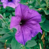 Semi di Petunia Ibrida Grandiflora in Mix (Petunia hybrida)