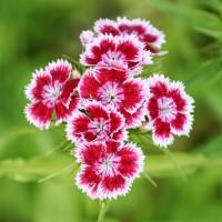 Semi di Garofano dei Poeti (Dianthus barbatus)