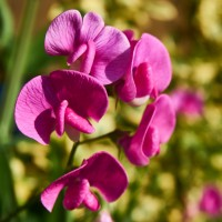 Semi di Pisello Odoroso in Mix (Lathyrus odoratus)
