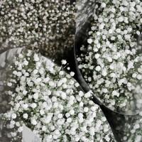 Semi di Velo da Sposa (Gypsophila paniculata)