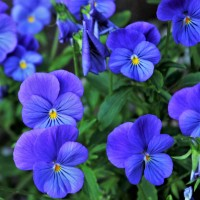 Viola del Pensiero Bleu | Bestprato by Hortus